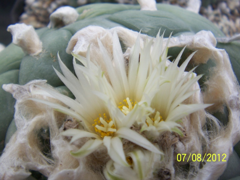 Cacti and Sukkulent in Köln, every day new flowers in the greenhouse Part 24   Bild_552