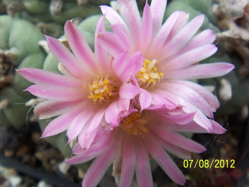 Cacti and Sukkulent in Köln, every day new flowers in the greenhouse Part 24   Bild_558