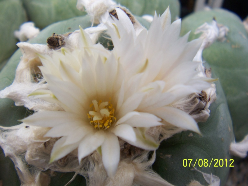 Cacti and Sukkulent in Köln, every day new flowers in the greenhouse Part 24   Bild_560
