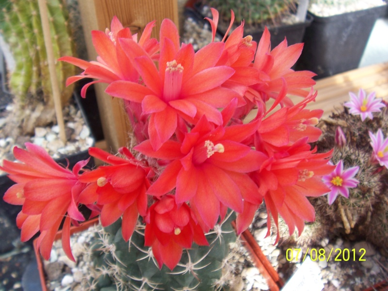 Cacti and Sukkulent in Köln, every day new flowers in the greenhouse Part 24   Bild_567