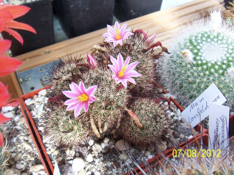 Cacti and Sukkulent in Köln, every day new flowers in the greenhouse Part 24   Bild_568