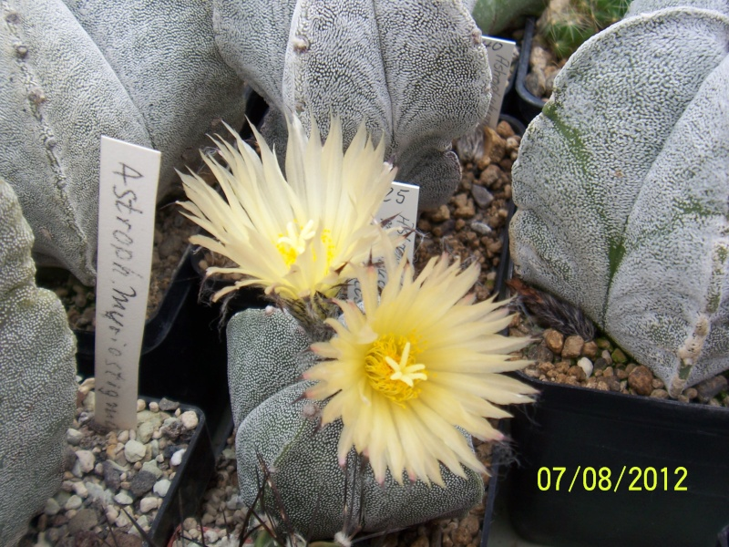 Cacti and Sukkulent in Köln, every day new flowers in the greenhouse Part 24   Bild_575