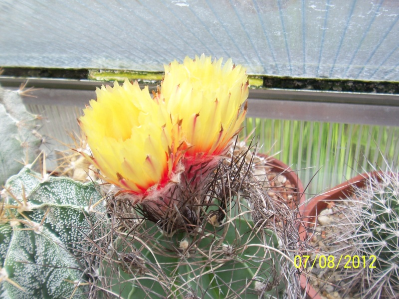 Cacti and Sukkulent in Köln, every day new flowers in the greenhouse Part 24   Bild_576