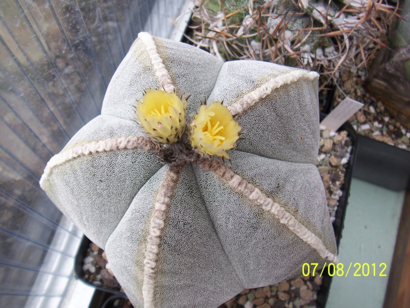 Cacti and Sukkulent in Köln, every day new flowers in the greenhouse Part 24   Bild_579