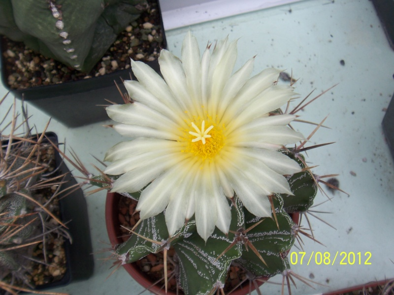 Cacti and Sukkulent in Köln, every day new flowers in the greenhouse Part 24   Bild_591