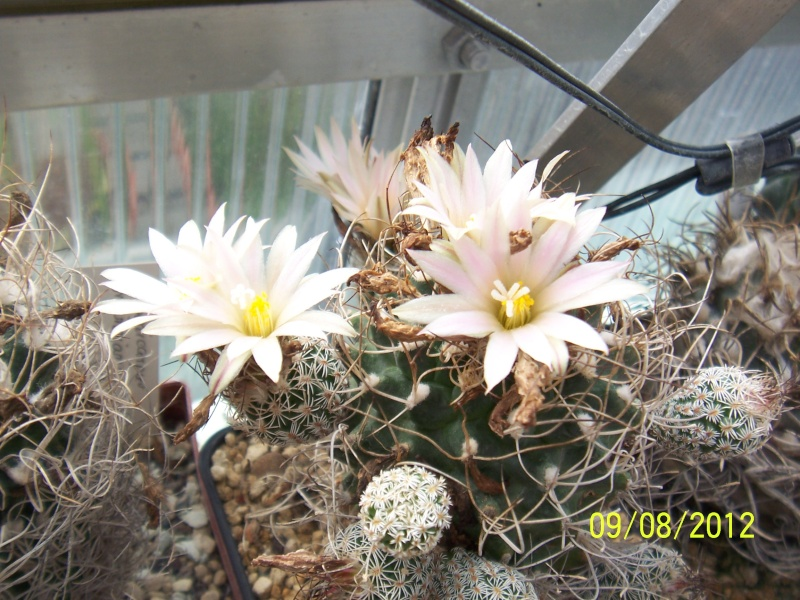 Cacti and Sukkulent in Köln, every day new flowers in the greenhouse Part 26  Bild_630