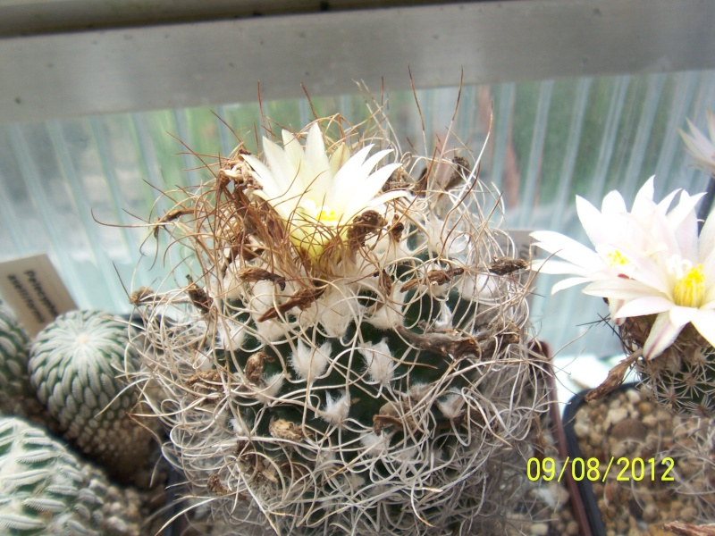 Cacti and Sukkulent in Köln, every day new flowers in the greenhouse Part 26  Bild_631
