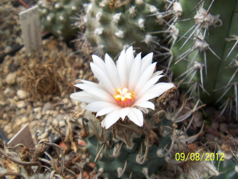 Cacti and Sukkulent in Köln, every day new flowers in the greenhouse Part 26  Bild_633