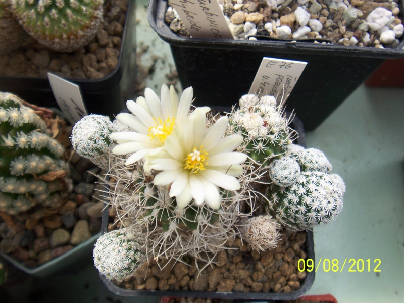 Cacti and Sukkulent in Köln, every day new flowers in the greenhouse Part 26  Bild_635