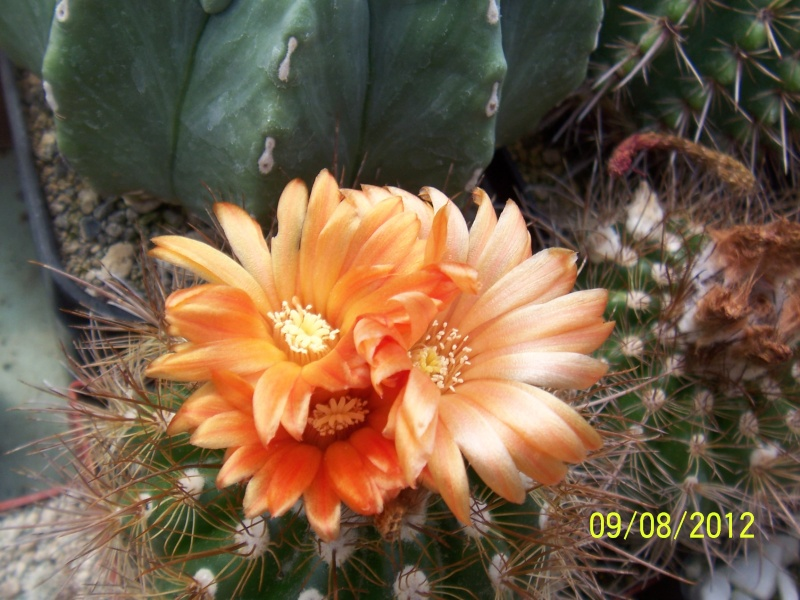 Cacti and Sukkulent in Köln, every day new flowers in the greenhouse Part 26  Bild_636
