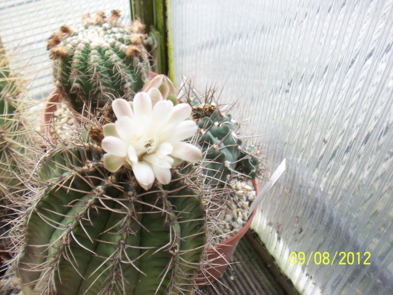 Cacti and Sukkulent in Köln, every day new flowers in the greenhouse Part 26  Bild_637