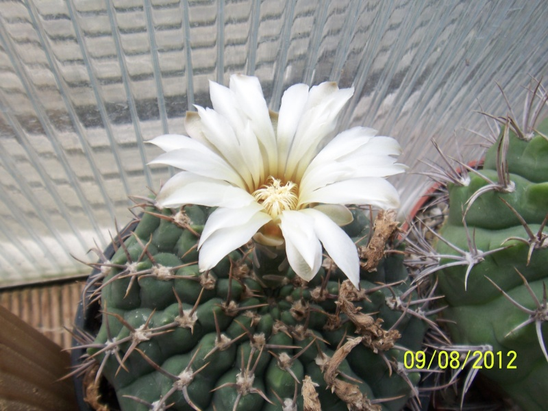 Cacti and Sukkulent in Köln, every day new flowers in the greenhouse Part 26  Bild_639