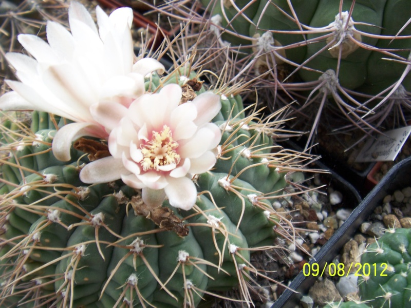 Cacti and Sukkulent in Köln, every day new flowers in the greenhouse Part 26  Bild_640