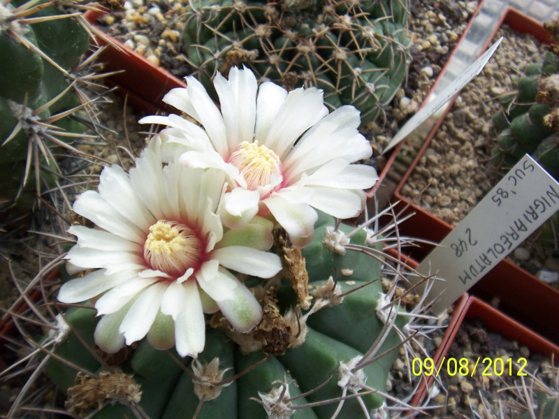 Cacti and Sukkulent in Köln, every day new flowers in the greenhouse Part 26  Bild_641