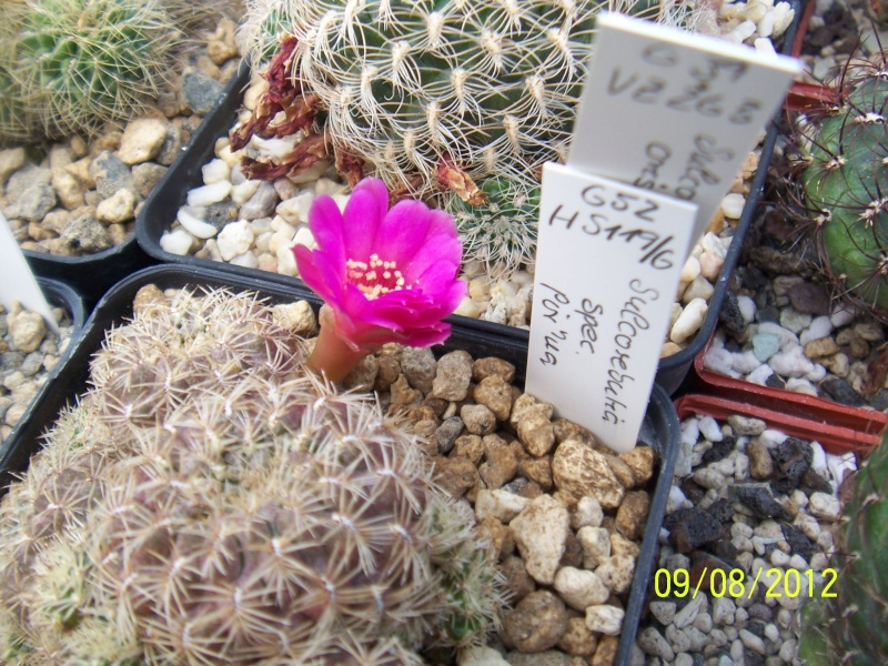 Cacti and Sukkulent in Köln, every day new flowers in the greenhouse Part 26  Bild_643