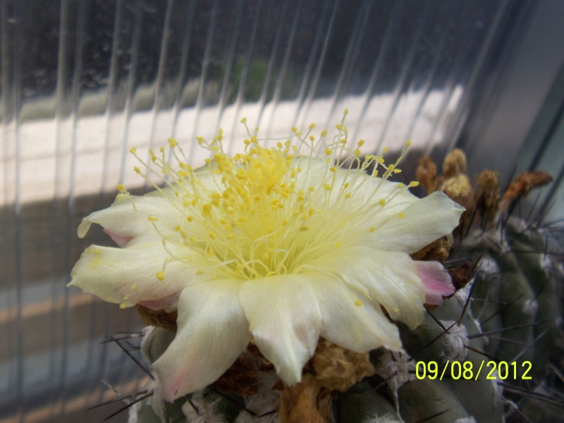 Cacti and Sukkulent in Köln, every day new flowers in the greenhouse Part 26  Bild_645