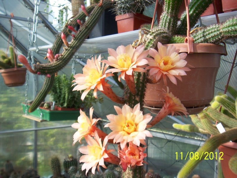 Cacti and Sukkulent in Köln, every day new flowers in the greenhouse Part 26  Bild_684