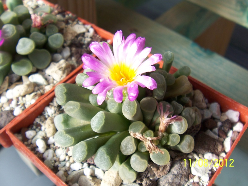 Cacti and Sukkulent in Köln, every day new flowers in the greenhouse Part 26  Bild_685