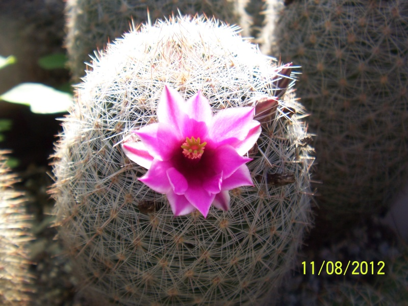 Cacti and Sukkulent in Köln, every day new flowers in the greenhouse Part 26  Bild_687