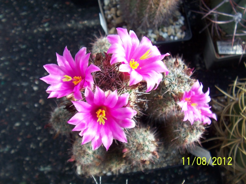 Cacti and Sukkulent in Köln, every day new flowers in the greenhouse Part 26  Bild_688