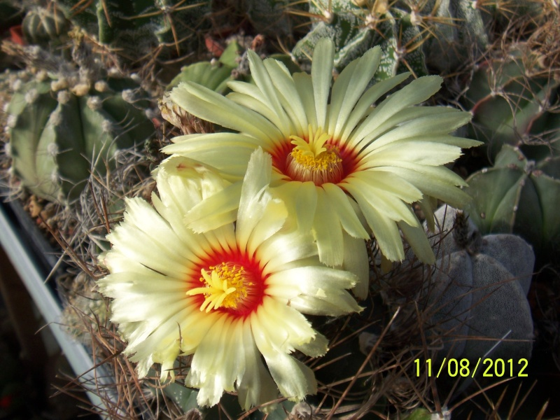 Cacti and Sukkulent in Köln, every day new flowers in the greenhouse Part 26  Bild_689