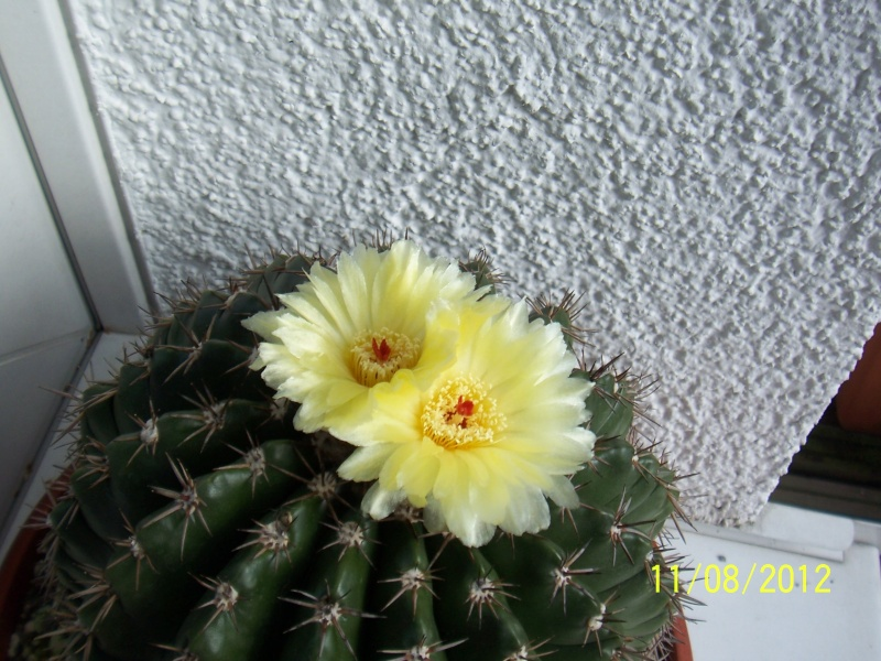 Cacti and Sukkulent in Köln, every day new flowers in the greenhouse Part 26  Bild_692