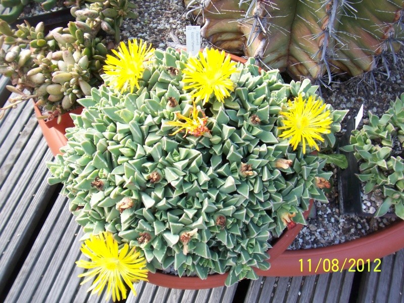 Cacti and Sukkulent in Köln, every day new flowers in the greenhouse Part 26  Bild_693