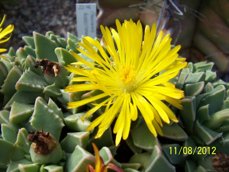 Cacti and Sukkulent in Köln, every day new flowers in the greenhouse Part 26  Bild_694