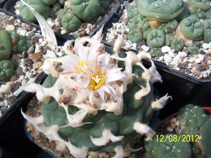 Cacti and Sukkulent in Köln, every day new flowers in the greenhouse Part 26  Bild_698