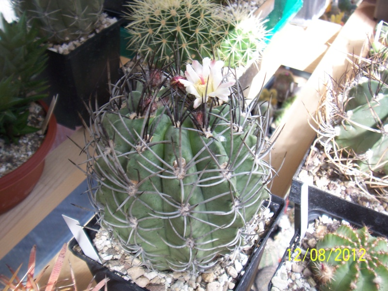 Cacti and Sukkulent in Köln, every day new flowers in the greenhouse Part 26  Bild_703