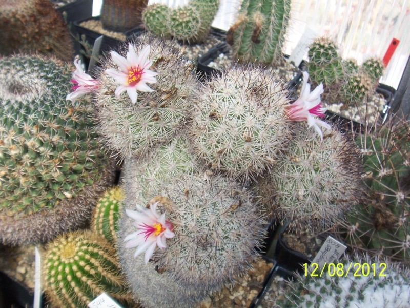 Cacti and Sukkulent in Köln, every day new flowers in the greenhouse Part 26  Bild_705