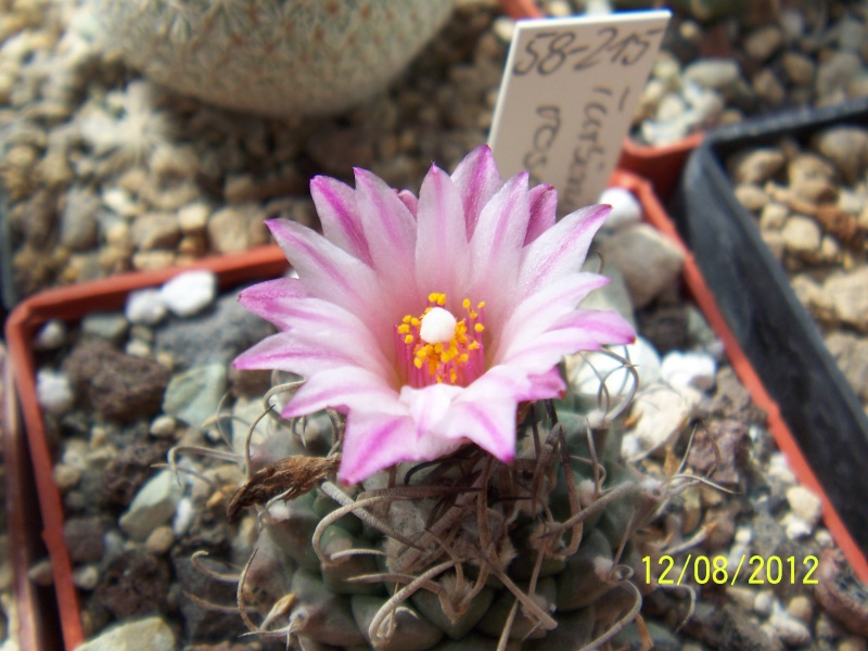 Cacti and Sukkulent in Köln, every day new flowers in the greenhouse Part 26  Bild_708