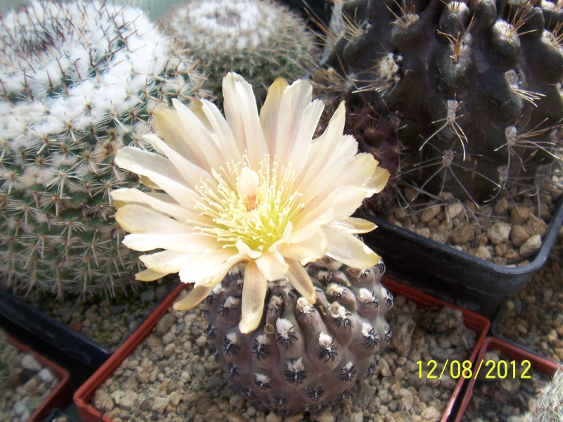 Cacti and Sukkulent in Köln, every day new flowers in the greenhouse Part 26  Bild_716