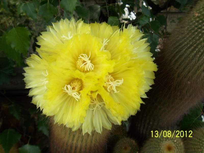 Cacti and Sukkulent in Köln, every day new flowers in the greenhouse Part 27   Bild_719