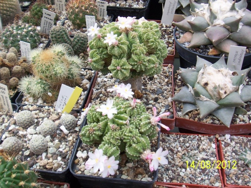 Cacti and Sukkulent in Köln, every day new flowers in the greenhouse Part 27   Bild_727
