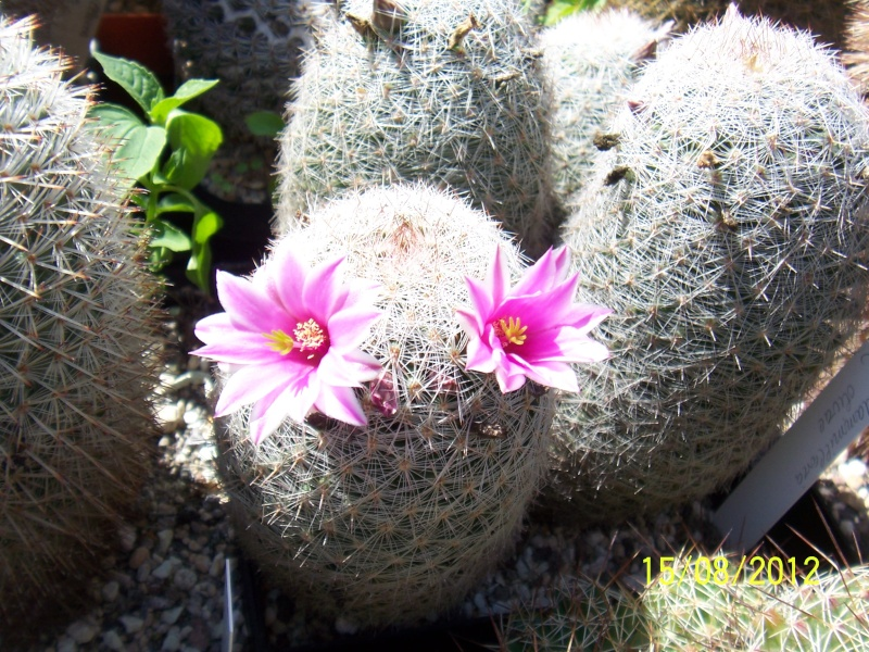Cacti and Sukkulent in Köln, every day new flowers in the greenhouse Part 27   Bild_736