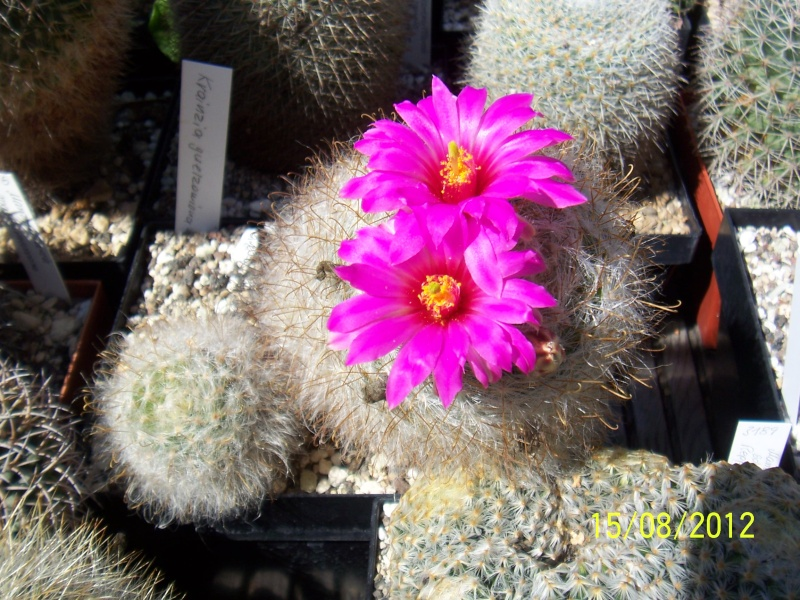 Cacti and Sukkulent in Köln, every day new flowers in the greenhouse Part 27   Bild_739