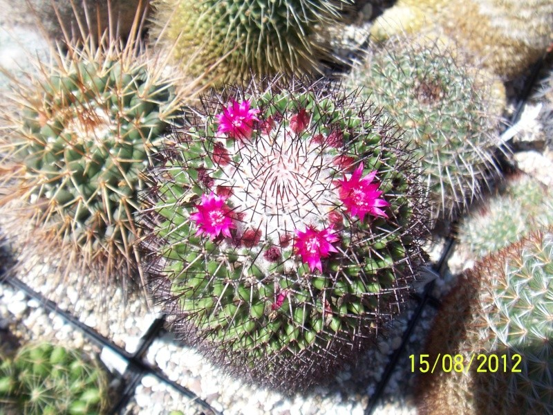Cacti and Sukkulent in Köln, every day new flowers in the greenhouse Part 27   Bild_742
