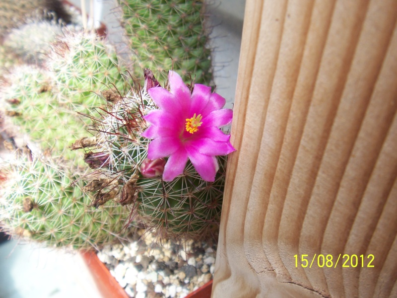 Cacti and Sukkulent in Köln, every day new flowers in the greenhouse Part 27   Bild_744