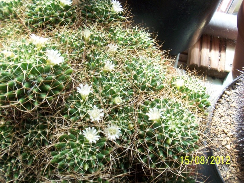 Cacti and Sukkulent in Köln, every day new flowers in the greenhouse Part 27   Bild_747