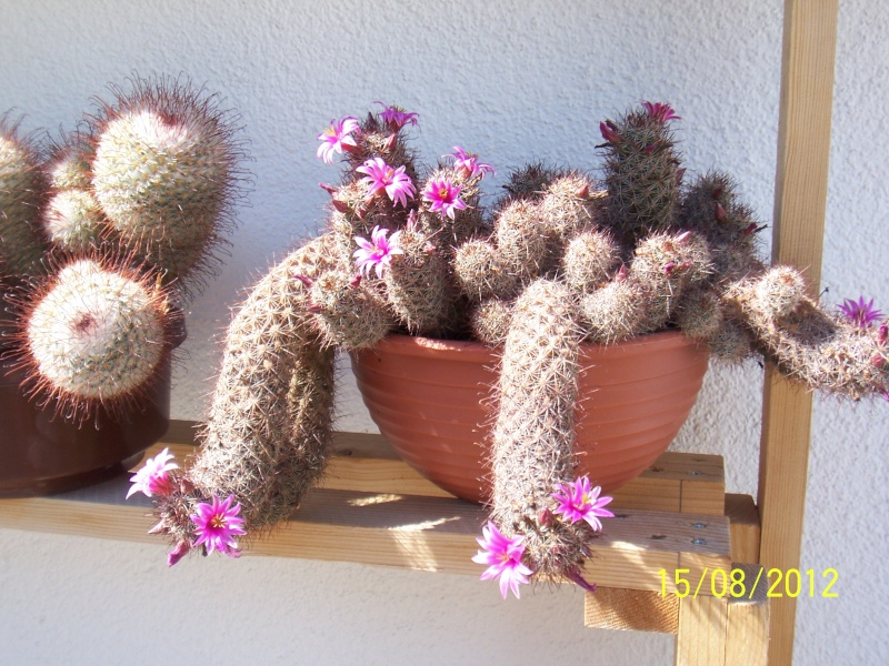 Cacti and Sukkulent in Köln, every day new flowers in the greenhouse Part 27   Bild_749