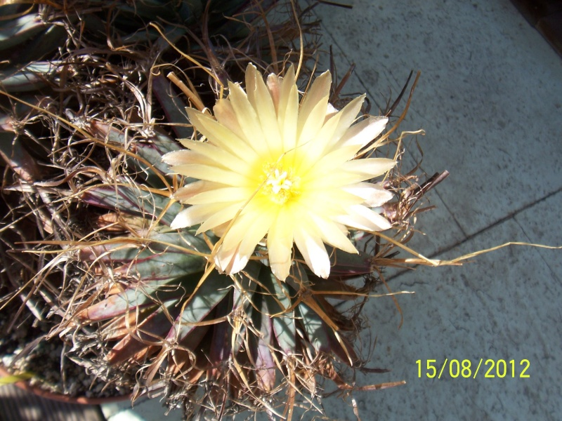 Cacti and Sukkulent in Köln, every day new flowers in the greenhouse Part 27   Bild_754