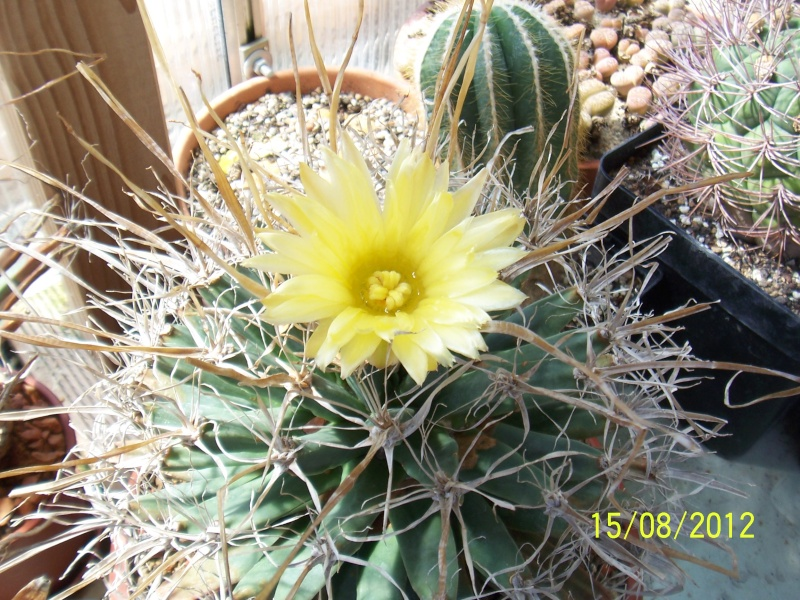 Cacti and Sukkulent in Köln, every day new flowers in the greenhouse Part 27   Bild_755