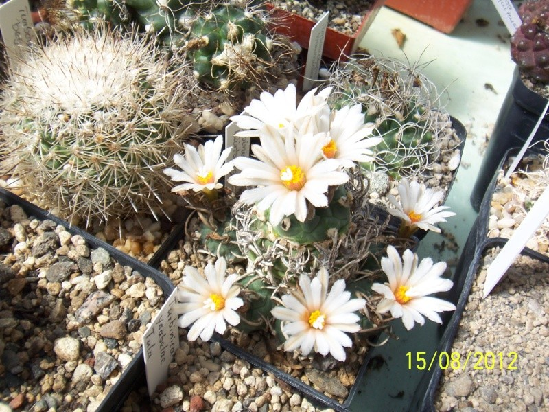 Cacti and Sukkulent in Köln, every day new flowers in the greenhouse Part 27   Bild_757