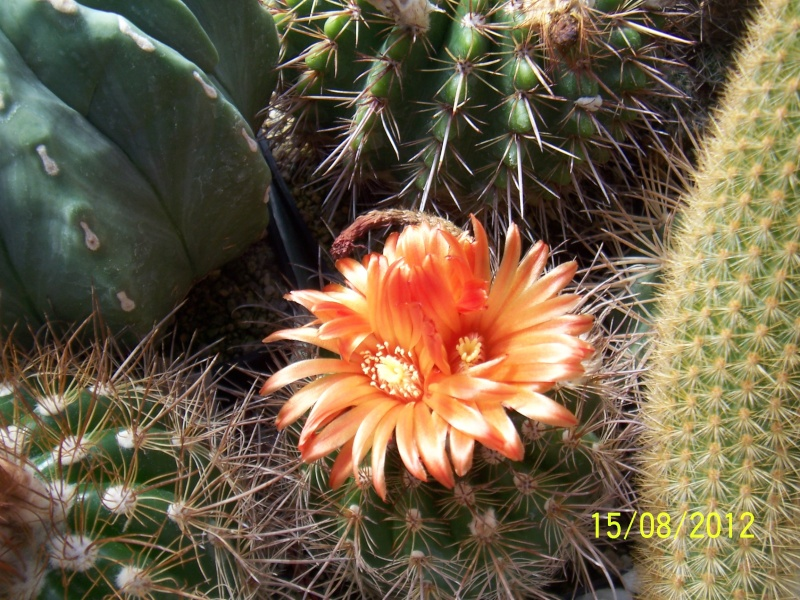 Cacti and Sukkulent in Köln, every day new flowers in the greenhouse Part 27   Bild_763