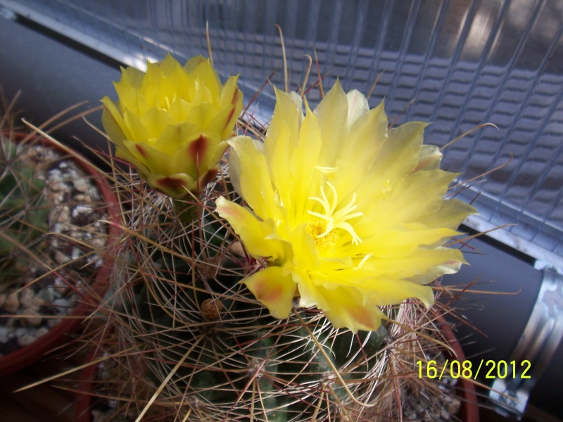 Cacti and Sukkulent in Köln, every day new flowers in the greenhouse Part 28   Bild_770
