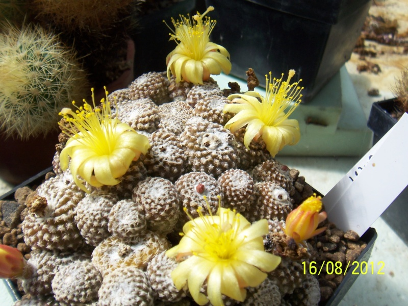 Cacti and Sukkulent in Köln, every day new flowers in the greenhouse Part 28   Bild_772