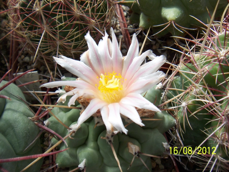 Cacti and Sukkulent in Köln, every day new flowers in the greenhouse Part 28   Bild_773