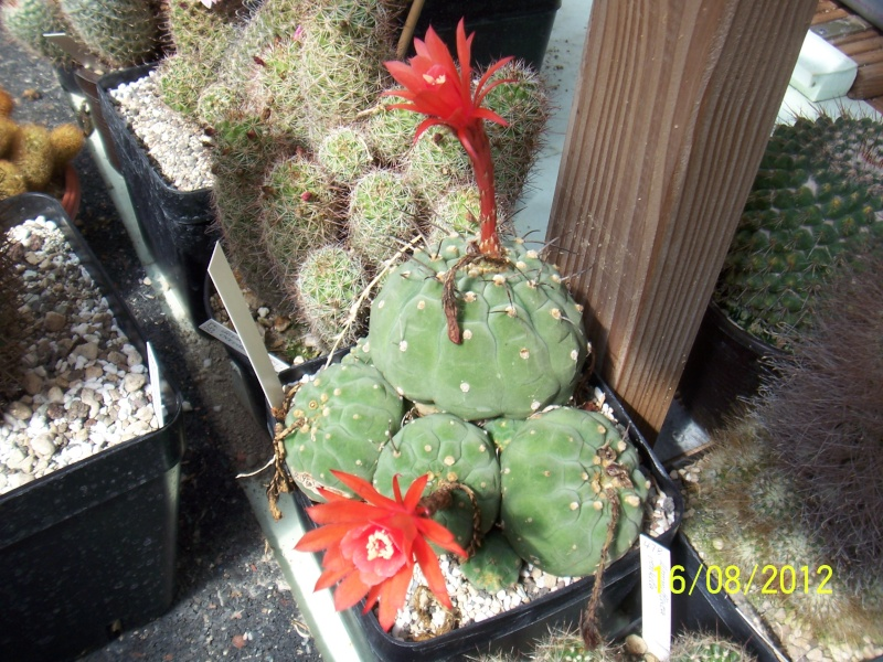 Cacti and Sukkulent in Köln, every day new flowers in the greenhouse Part 28   Bild_781