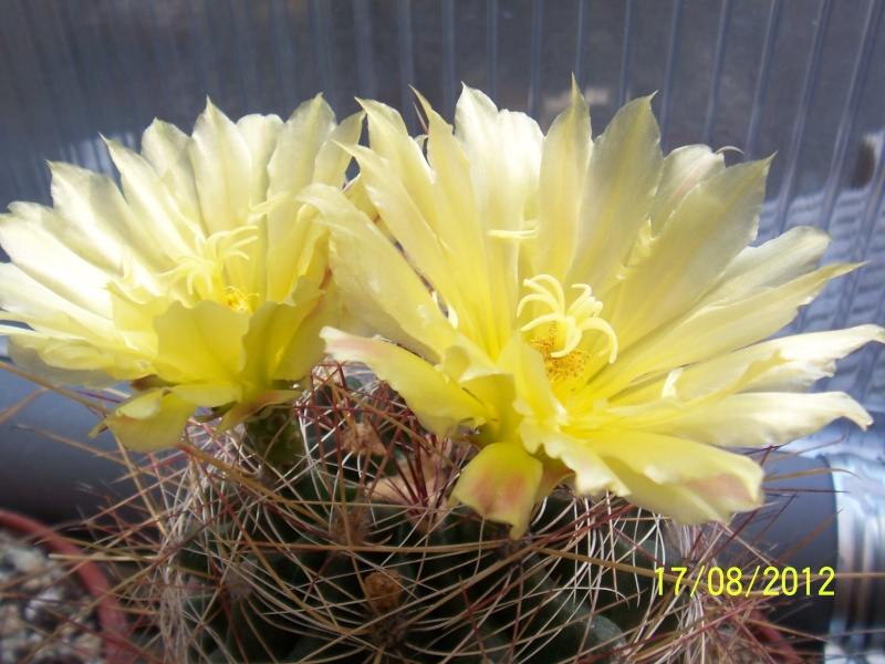 Cacti and Sukkulent in Köln, every day new flowers in the greenhouse Part 28   Bild_782